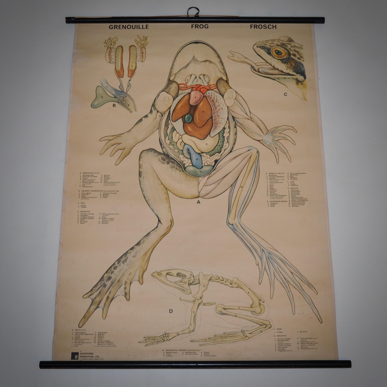 Vintage ouderwetse schoolplaat van een kikker